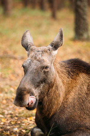 moose hunting: Close up of head of wild female moose, elk. The moose or elk, Alces alces, is the largest extant species in the deer family. Stock Photo