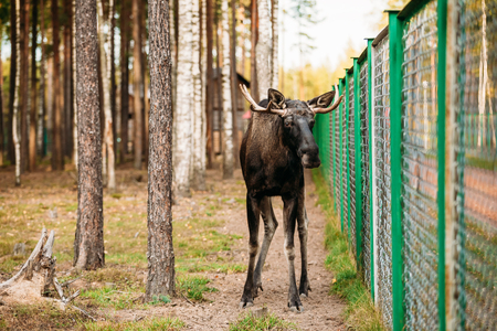 extant: Wild male moose, elk in cage forest reserve. The moose or elk, Alces alces, is the largest extant species in the deer family.