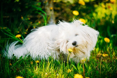 bichon bolognese: Funny White Bichon Bolognese Dog Sitting In Green Grass and sniffs dandelion flowers in Park