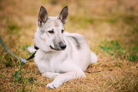 pure bred: Single Beautiful young russian Laika puppy Dog sitting on dry grass. Autumn season. Laika refers to a type of hunting dog of Northern Russia and Russian Siberia