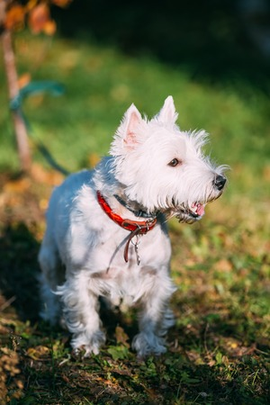 purebred dog: West Highland White Terrier - Westie, Westy Dog Outdoors. Popular breeds