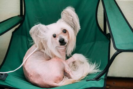 curtis: Young White Chinese Crested Dog Sit in Chair. Hairless breed of dog. Light skin.