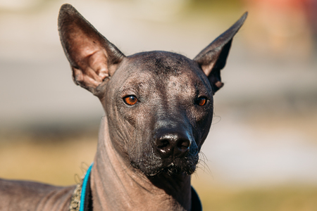 hairless: Mexican Hairless Dog. The Xoloitzcuintli or Xolo for short, is a hairless breed of dog