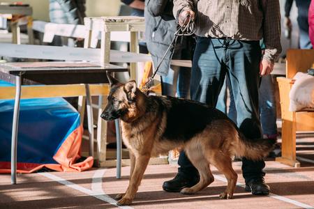 alsatian: Man and Alsatian Wolf Dog in dog show. Stock Photo