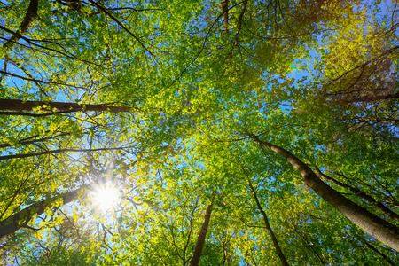 summer trees: Spring Summer Sun Shining Through Canopy Of Tall Trees Woods. Sunlight In Deciduous Forest, Summer Nature. Upper Branches Of Trees Background