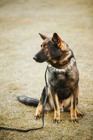 alsatian: Brown German Shepherd Dog Sitting In Green Grass in Park. Alsatian Wolf Dog