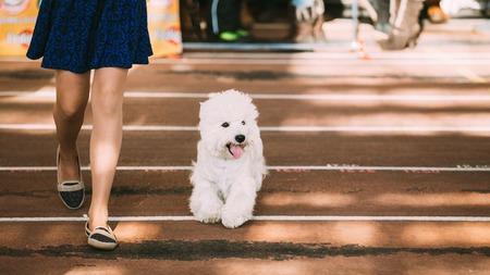 mujer con perro: Divertido encantador pequeño sonriente blanco West Highland White Terrier, Westie, Westy, Perro feliz que se ejecuta cerca de chica. Foto de archivo