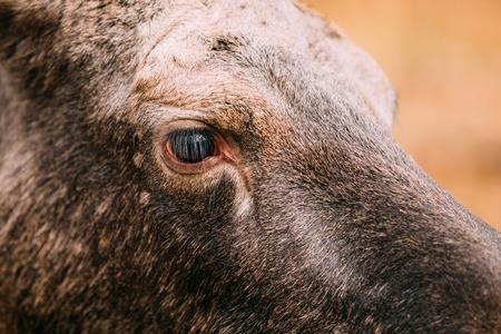 moose hunting: Close up of eye of wild female moose, elk.