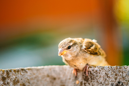 young bird: Funny Young Bird Nestling House Sparrow Chick Baby Yellow-Beaked Passer Domesticus Sitting On Fence Stock Photo