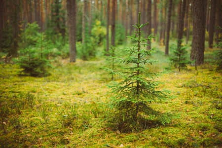 Small growing spruce fir tree in coniferous forest. Russian Nature Stock Photo