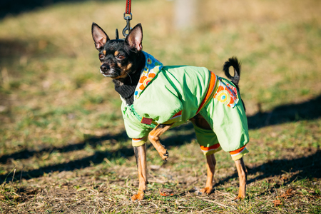 moscovian: Beautiful Russkiy Toy or Russian Toy Terrier Dog Dressed Up In Outfit, Staying Outdoor in Park Stock Photo