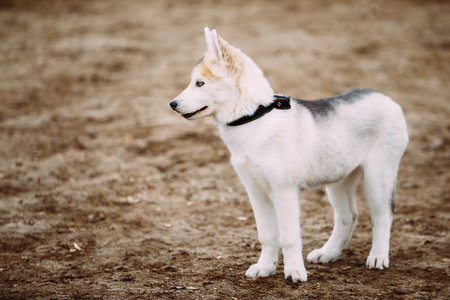 pure bred: Young White Husky Puppy Dog With Blue eyes Outdoor In Autumn Park Stock Photo