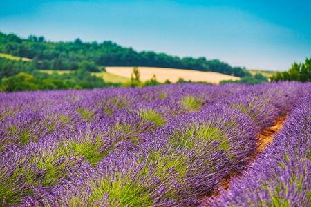 scenic view: Blooming Bright Purple Lavender Flowers Field in Provence, France. Summer Agricultural landscape under sunny blue sky. Scenic view Stock Photo