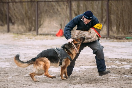 alsatian: GOMEL, BELARUS - FEBRUARY, 20, 2016: German shepherd dog training. Biting dog. Alsatian Wolf Dog. Deutscher, dog