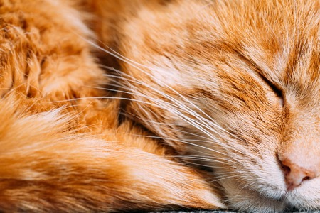 Close up of Peaceful Red Cat Curled Up Sleeping in His Bed