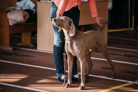 The Weimaraner is a large dog that was originally bred for hunting in the early 19th century. Early Weimaraners were used for hunting smaller animals like fowl, rabbits, and foxes. Stock Photo