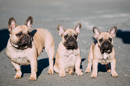 Three Funny Lovely French Bulldogs Dogs Puppies In Park Outdoor. Popular breed of dog