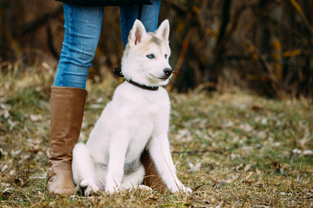 husky: Young Funny White Husky Puppy Dog With Blue Eyes Sit Outdoor In Autumn Park. Puppy Sitting at Feet of a Girl in Boots.
