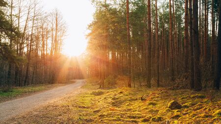 road and path through: Sun shining over road, path, walkway through forest. Sunset Sunrise In Autumn Coniferous Forest Trees. Panorama Stock Photo