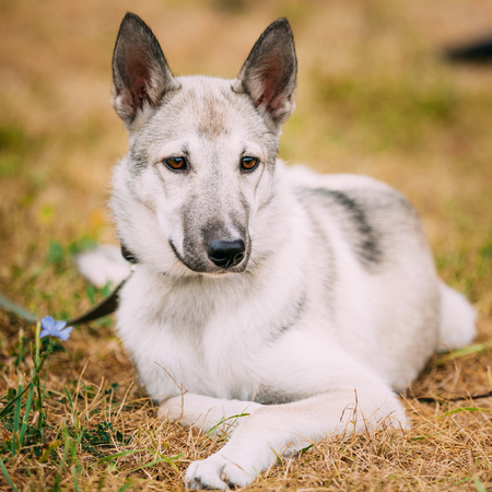 refers: Young Russian Laika Puppy Dog Sitting On Dry Grass. Laika Refers To A Type Of Hunting Dog Of Northern Russia And Russian Siberia