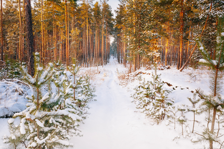 Beautiful Sunset Sunrise Time. Path, Lane, Way In Sunny Winter Snowy Coniferous Forest Stock Photo