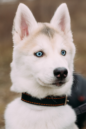 close up eyes: Curious Young Funny White Husky Puppy Dog With Blue Eyes. Close Up Portrait. Stock Photo