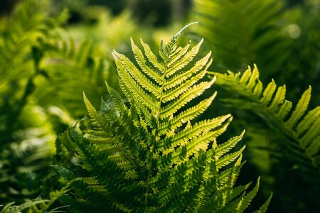Beautyful ferns leaves green foliage natural floral fern background in sunlight. Stock Photo