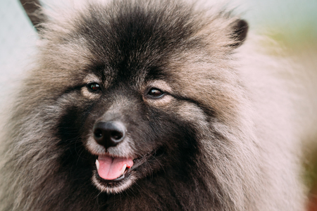 Close Up Of Lovely Funny Happy Young Keeshond, Keeshonden Dog Stock Photo