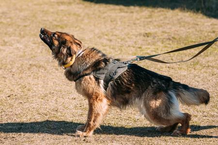 alsatian: Furious German shepherd dog training. Biting dog. Alsatian Wolf Dog. Deutscher, dog Stock Photo