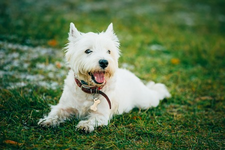 westie: West Highland White Terrier - Westie, Westy Dog Sit in Grass