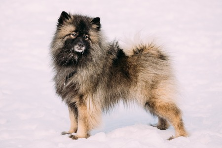 Funny Young Keeshond, Keeshonden dog play in snow, winter season. Sunny day