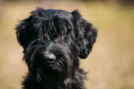 black giant: Close up of black Giant Schnauzer or Riesenschnauzer dog outdoor