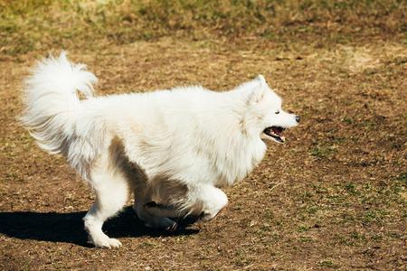 medium size: Funny White Samoyed Dog play run Outdoor. Popular  medium size breeds.