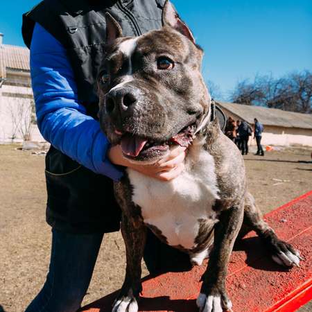 Beautiful Dog American Staffordshire Terrier on Obedience Training Outdoor Stock Photo