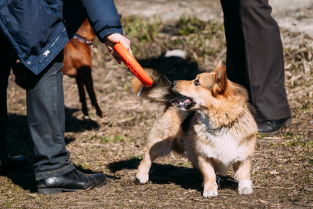 herding dog: Funny Welsh Corgi Dog Play With  Outdoor. The Welsh Corgi Is A Small Type Of Herding Dog That Originated In Wales.