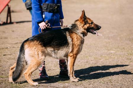 alsatian: Brown German Shepherd Dog Near Woman Feet. Alsatian Wolf Dog. Outdoor