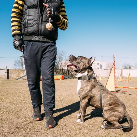 american staffordshire terrier: Beautiful Dog American Staffordshire Terrier on Obedience Training Outdoor Stock Photo