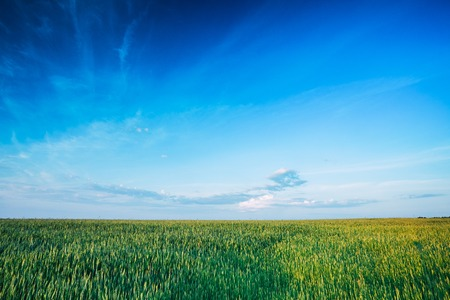 Green Wheat Field In Spring Season. Agricultural Rural Landscape At Evening. Copy Space On Sunny Blue Sky Background.