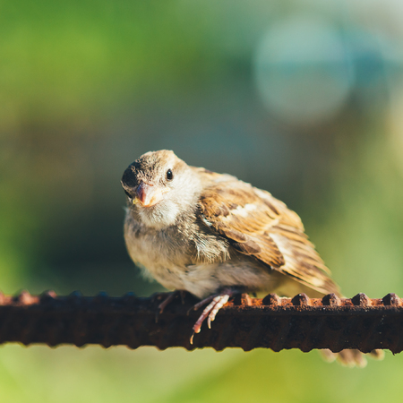 passer by: Young Bird Nestling House Sparrow Chick Baby Yellow-Beaked Passer Domesticus Sitting On Fence