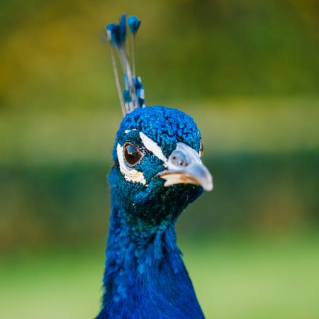 blue peafowl: Close up of Indian peafowl or blue peafowl - Pavo cristatus - outdoor