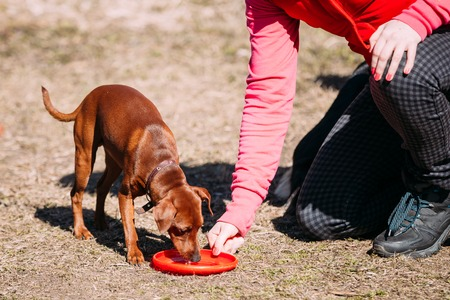 pure bred: Funny Cute Brown Miniature Pinscher Pincher Outdoor on  Training Stock Photo