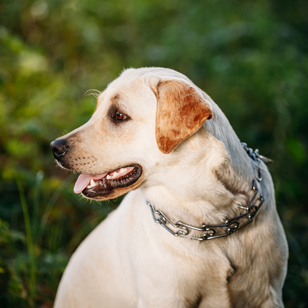 Close up face of white Labrador Dog Sitting In Green Grass