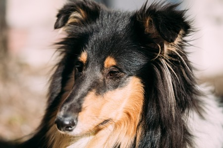 bred: Close up of Young Shetland Sheepdog, Sheltie, Collie dog.