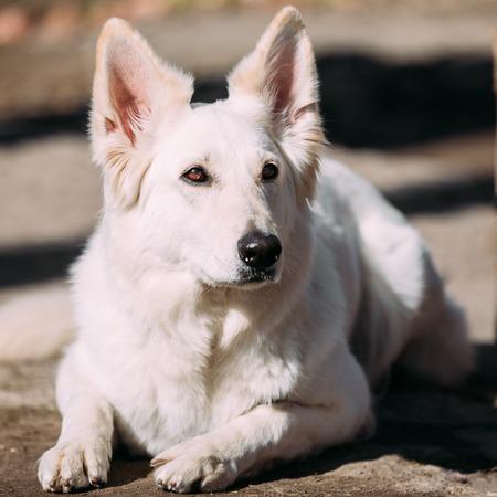 berger: Close Up White Swiss Shepherd Dog Berger Blanc Suisse. The Berger Blanc Suisse is a breed of dog from Switzerland.