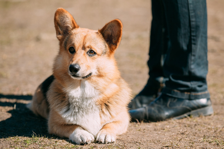 herding dog: Funny Welsh Corgi Dog Sit Outdoor. The Welsh Corgi Is A Small Type Of Herding Dog That Originated In Wales.