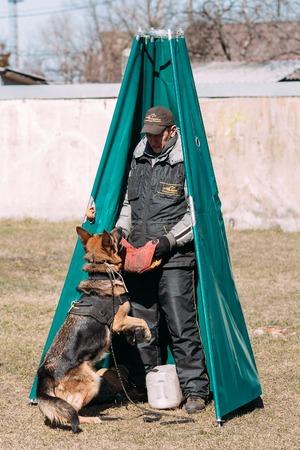 alsatian: Gomel, Belarus - March 27, 2016: German shepherd dog training. Biting dog. Alsatian Wolf Dog. Deutscher, dog