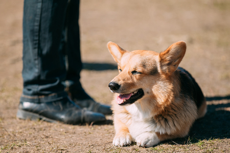 herding dog: Funny Smiling Welsh Corgi Dog Sit Outdoor. The Welsh Corgi Is A Small Type Of Herding Dog That Originated In Wales. Stock Photo