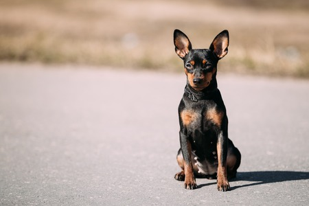 pure bred: Funny Cute Female Black Color Miniature Pinscher Pincher Sit On Road Outdoor Stock Photo