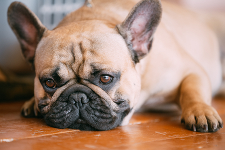 pure bred: Sad Dog French Bulldog Sitting On Floor Indoor. The French Bulldog Is A Small Breed Of Domestic Dog