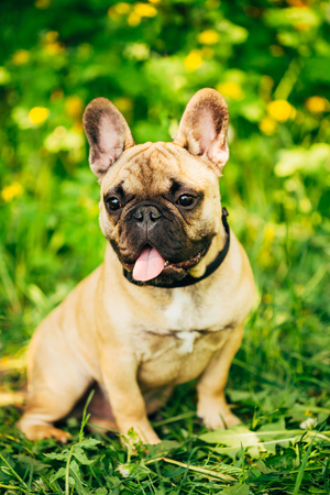 pure bred: Funny Pet Dog French Bulldog Sitting In Green Summer Grass Stock Photo